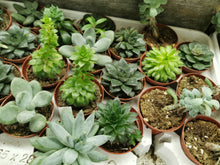 Load image into Gallery viewer, Assorted Succulents (Florists Choice)
