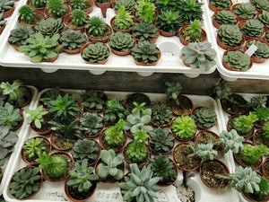 Assorted Succulents (Florists Choice)