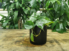 Load image into Gallery viewer, Philodendron