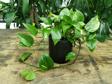 Load image into Gallery viewer, Pothos-Devil-Ivy
