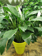 Load image into Gallery viewer, Peace Lily