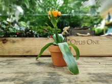 Load image into Gallery viewer, Ornithogalum