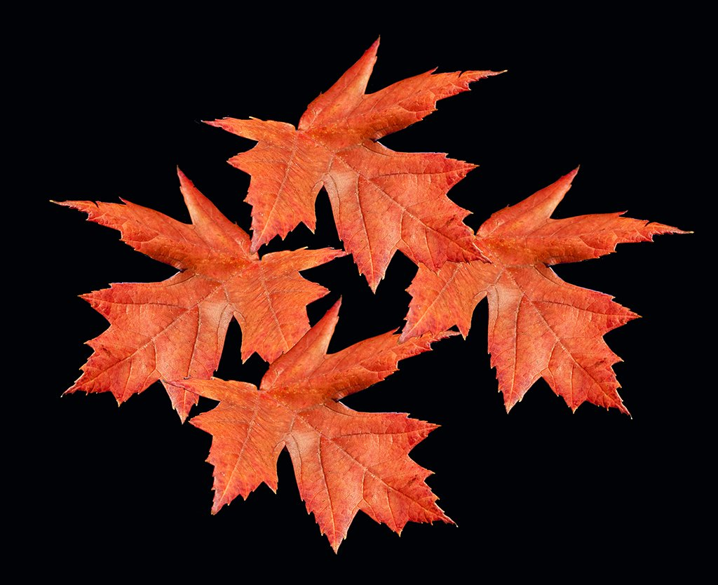 maple leaves blackbg