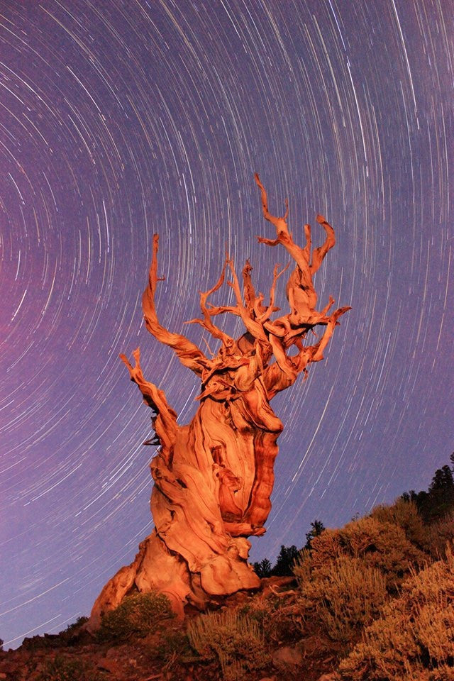 Bristlecone night