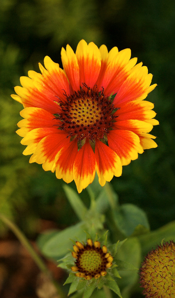 Showy Blanket Flower