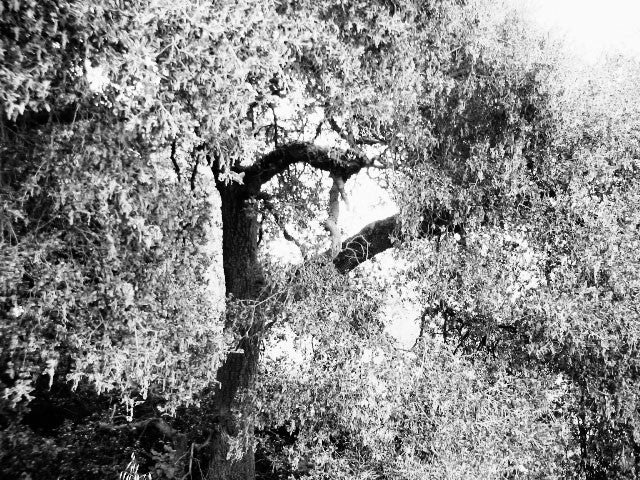 Tree in bw