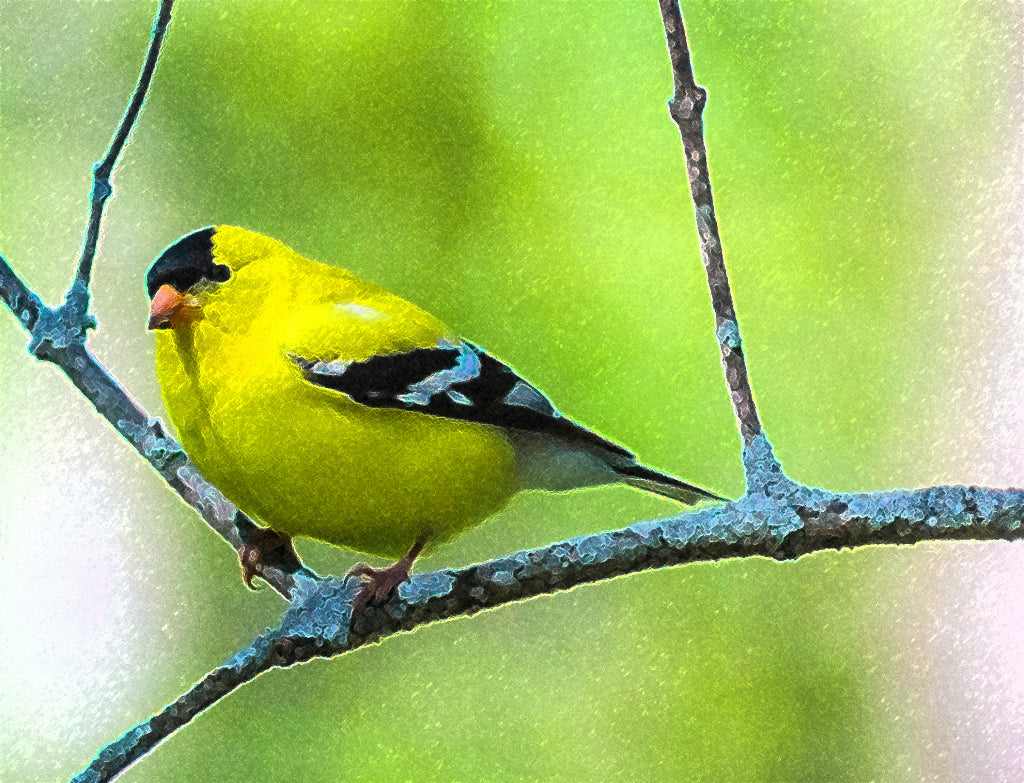 Golden Gold Finch