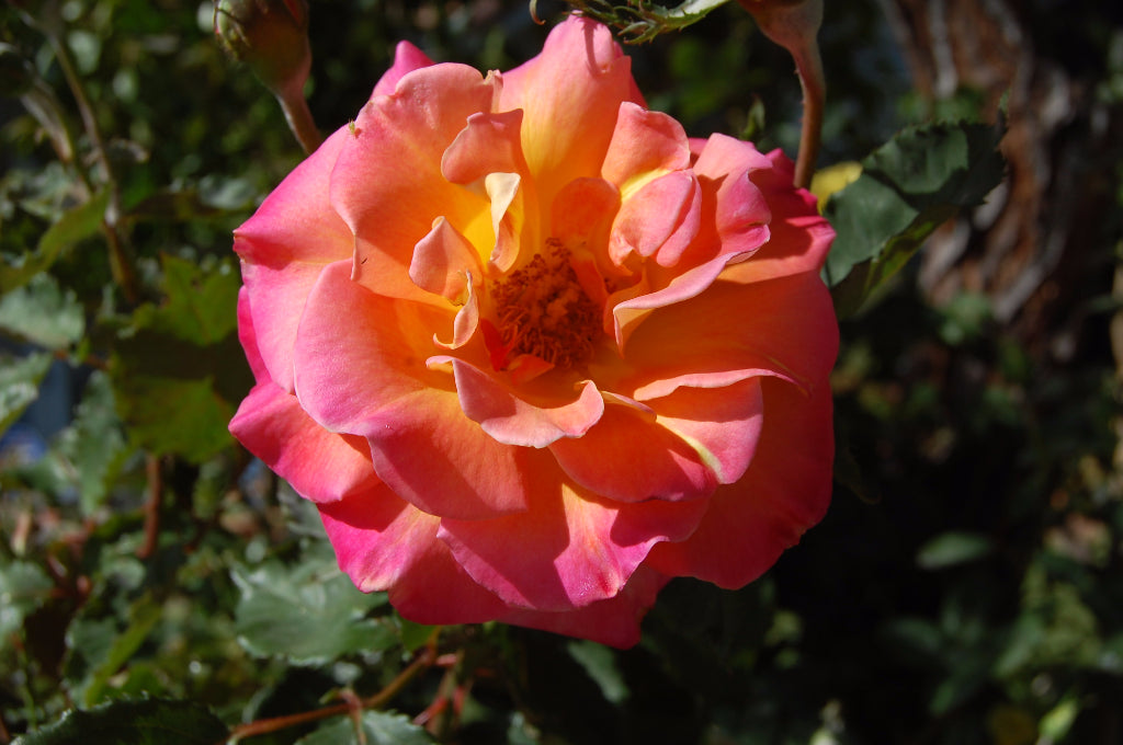 Glorious Rose