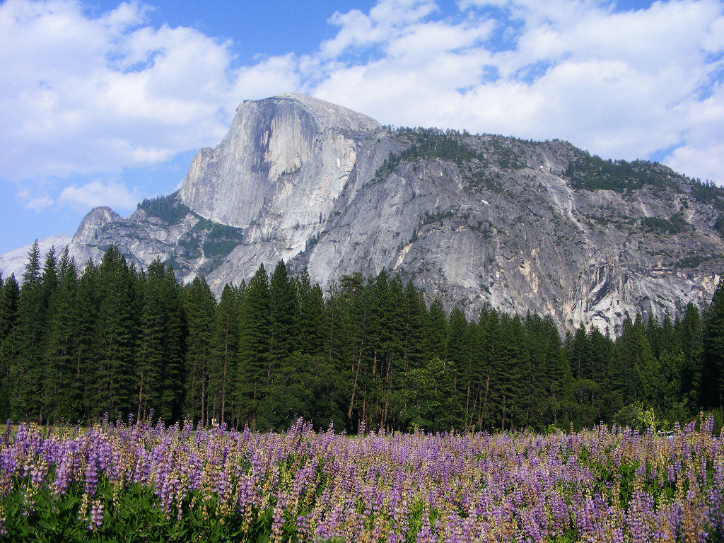Half Dome and Lupines