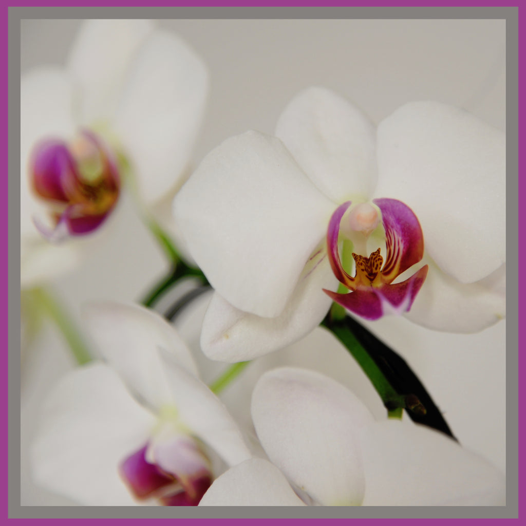 Mary Ann's White Orchid