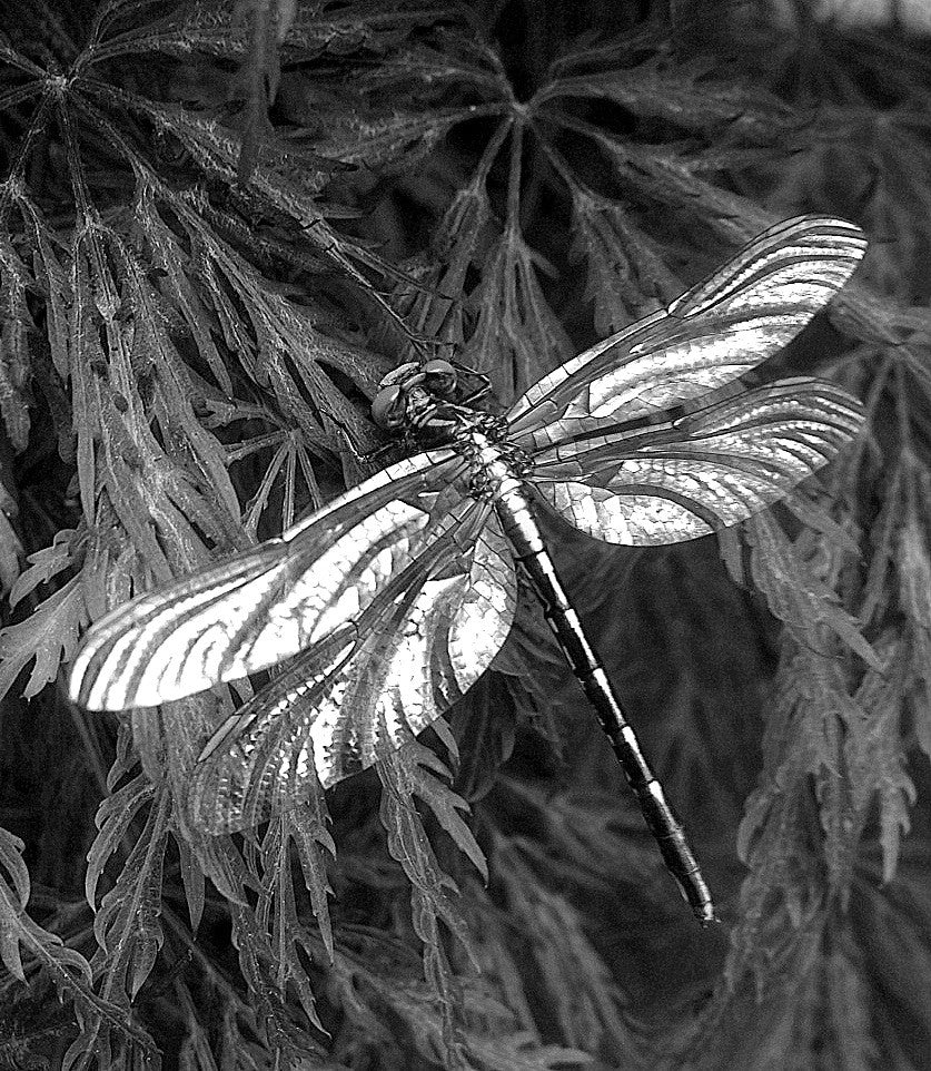 Dragonfly on Japanese Maple