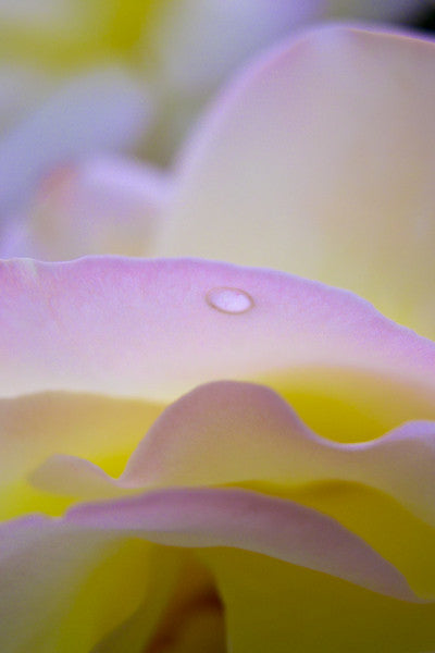 Rose Dew Drop