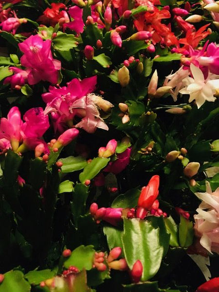 Pet & Child-Friendly...The Christmas Cactus