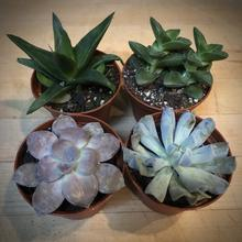 Load image into Gallery viewer, Mini Succulent Gift Set $34.95 Set of 4