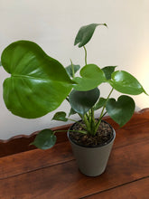 Load image into Gallery viewer, Spilt Leaf Philodendron ⭐⭐⭐⭐⭐