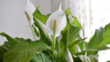 "Load image into Gallery viewer, 10"" Spathiphyllum 3' Tall (Peace Lilly) ⭐⭐⭐⭐⭐ Chicago Area Delivery Only"