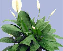 "10"" Spathiphyllum 3' Tall (Peace Lilly) ⭐⭐⭐⭐⭐ Chicago Area Delivery Only"