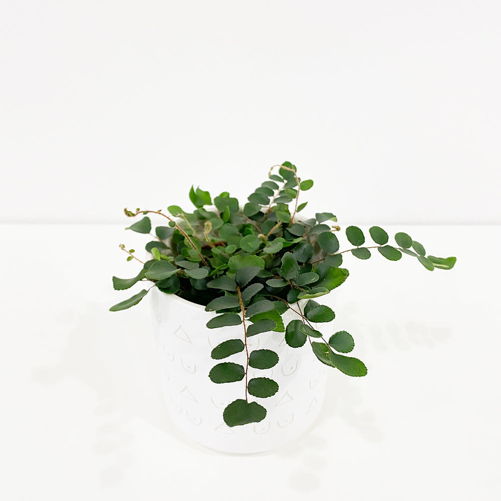 "4"" Button Fern - M.Lovewell"