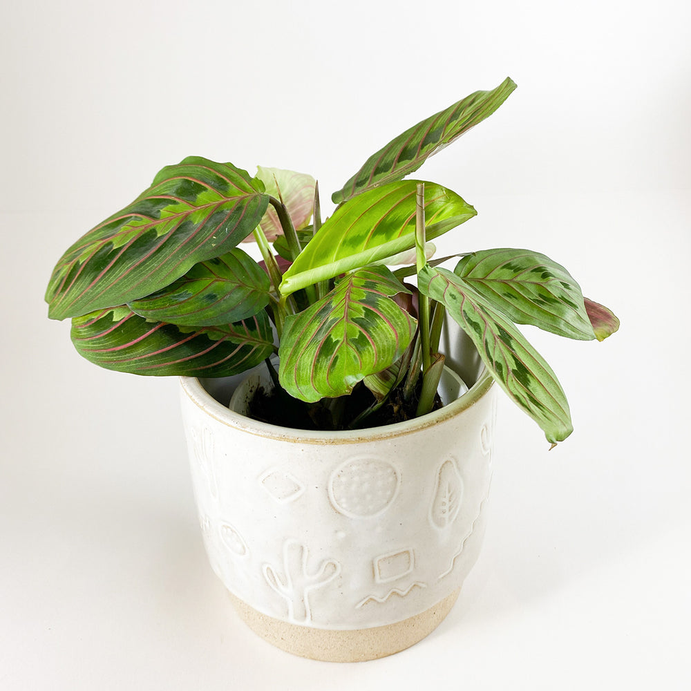 "4"" Maranta Red Prayer Plant - M.Lovewell"