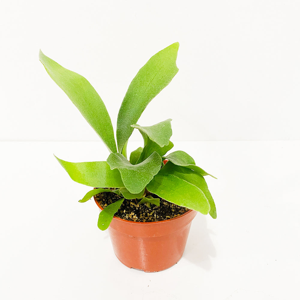 "4"" Staghorn Fern"