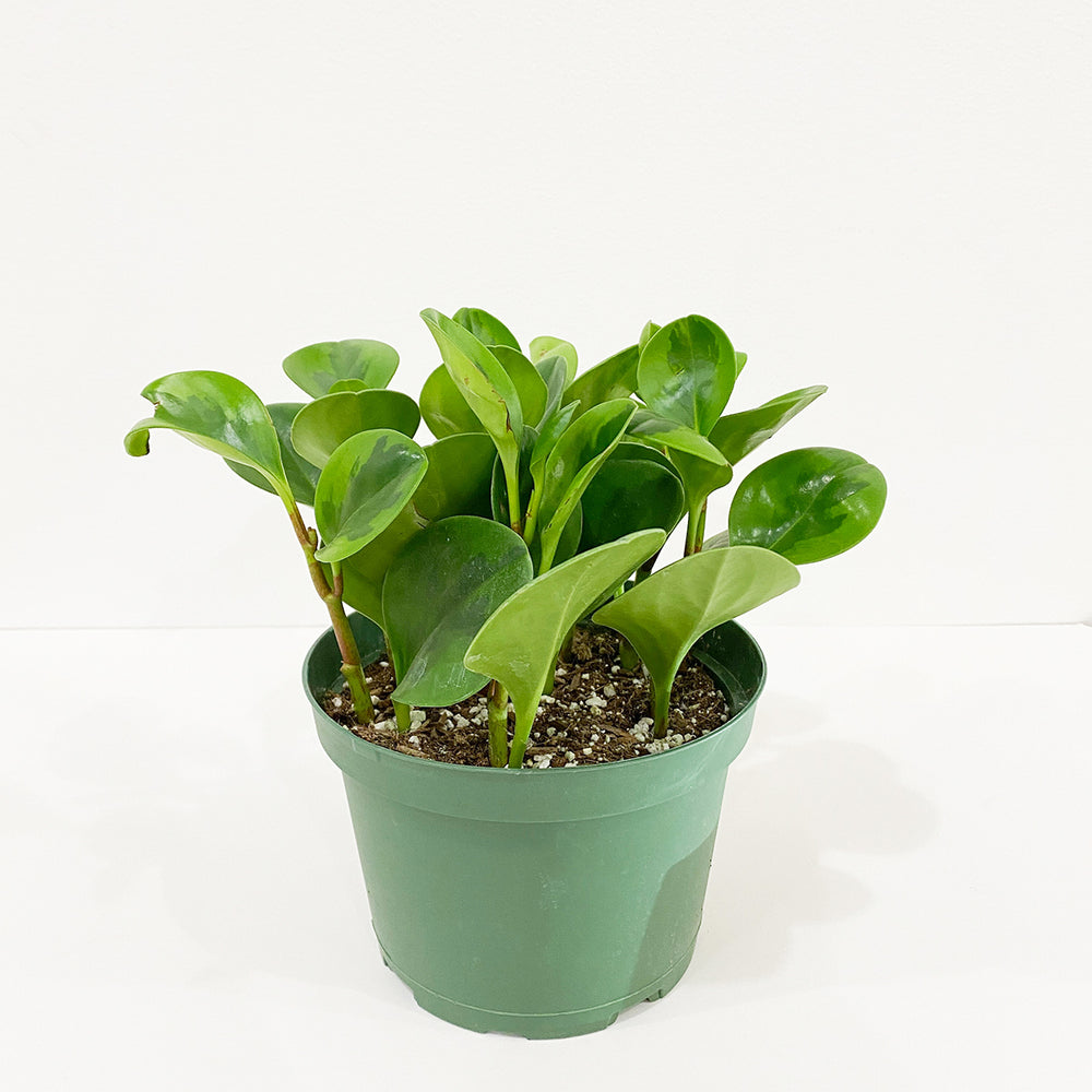 "6"" Peperomia Lemon Lime"
