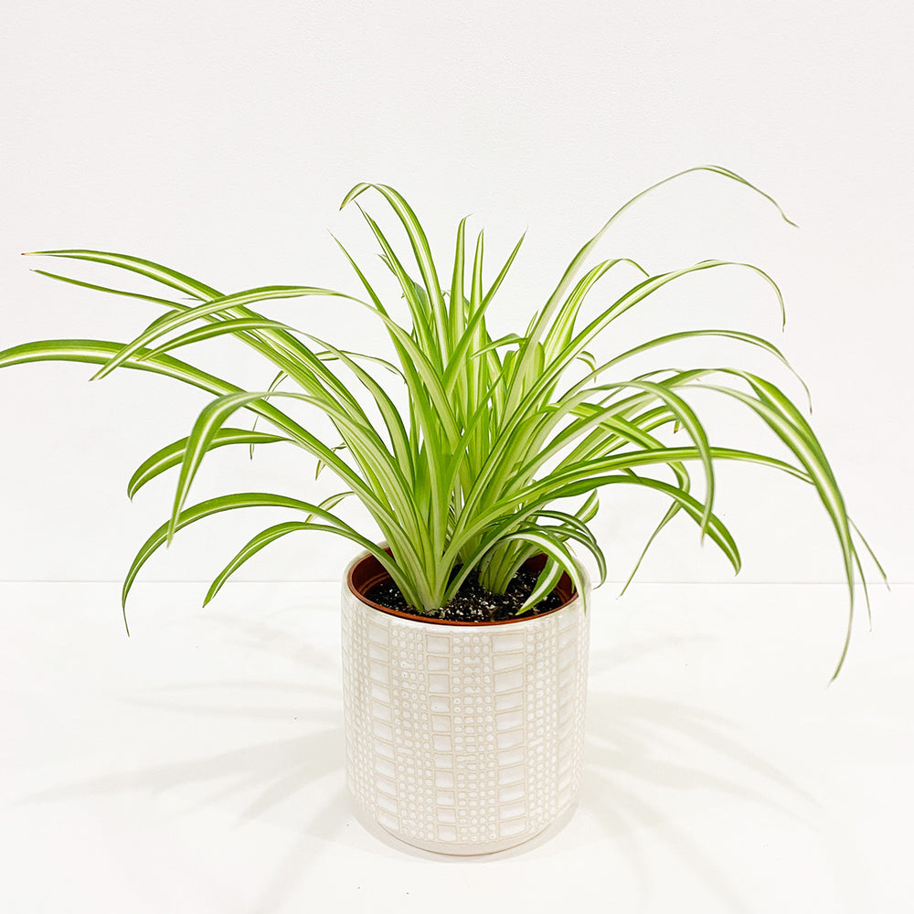 "6"" Spider Plant - M.Lovewell"