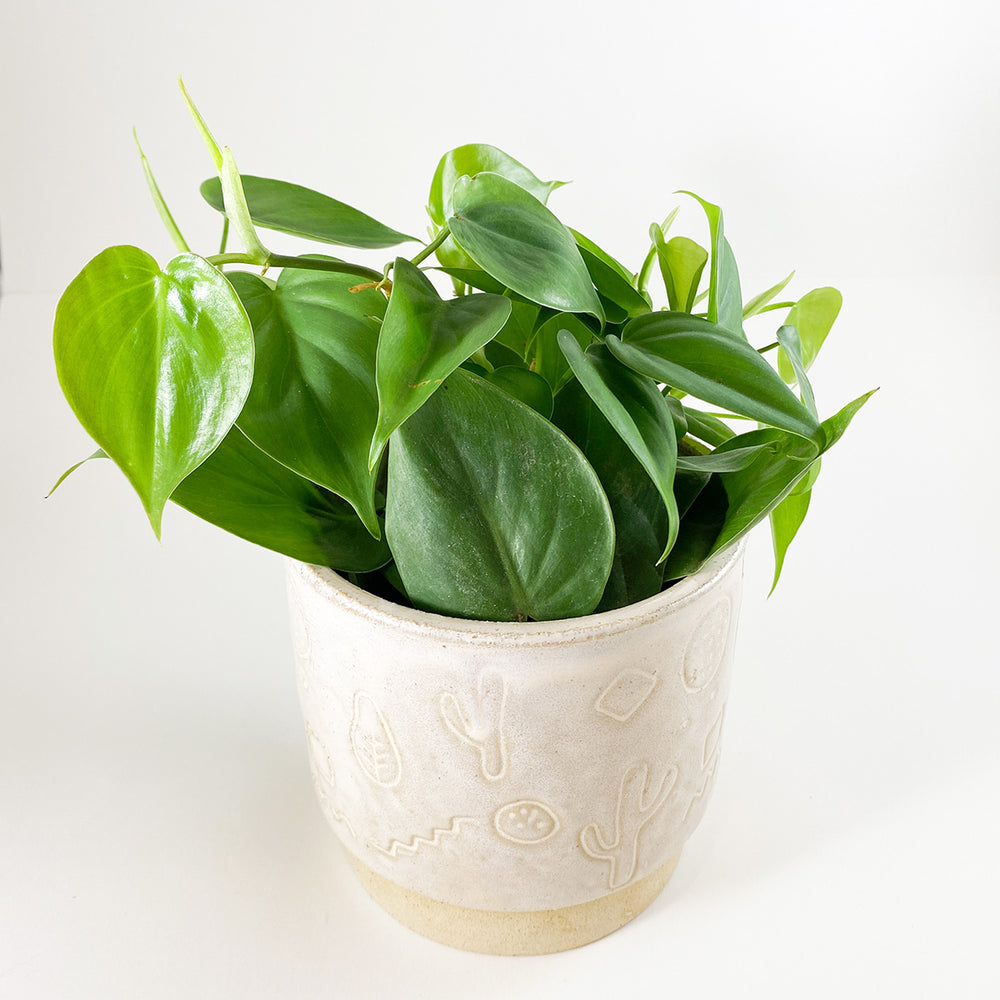 "4"" Heart Leaf Philodendron - M.Lovewell"