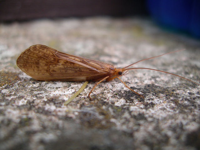 The Life of a Caddisfly