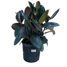 Load image into Gallery viewer, Ficus - Burgundy - Rubber Plant