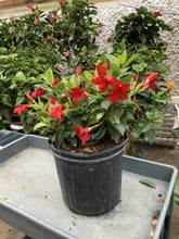 Load image into Gallery viewer, Mandevilla - Red