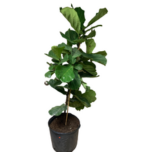 Load image into Gallery viewer, Ficus - Lyrata Bush