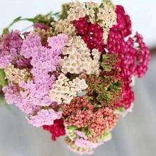 Load image into Gallery viewer, Achillea Millefolium - Summer Pastels