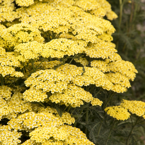Achillea - Millefolium - Sunny Seduction - Yarrow