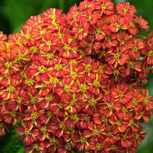 Load image into Gallery viewer, Achillea - Terracotta - Yarrow