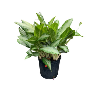 "10"" Aglaonema - Chinese Evergreen"