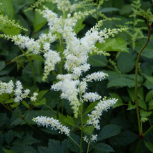 Load image into Gallery viewer, Astilbe - Bridal Veil