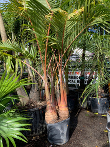 "21"" Bottle Palm - Double"