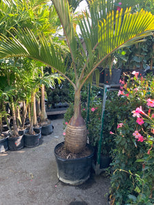 "17"" Bottle Palm - Single"