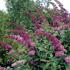 Buddleja - Pink Delight - Butterfly Bush