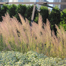 Load image into Gallery viewer, Calamagrostis brachytricha - Korean Feather Reed Grass