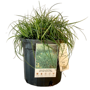 Carex - Blue Zinger