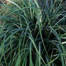 Load image into Gallery viewer, Carex - Blue Zinger