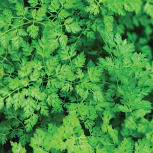 Savor - Herbs - Chervil Lacy French Parsley