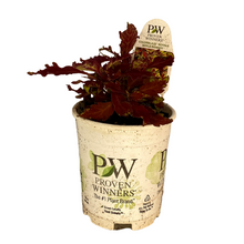 Load image into Gallery viewer, Coleus - Colorblaze Apple Brandy