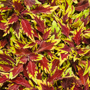 Coleus - Colorblaze Apple Brandy