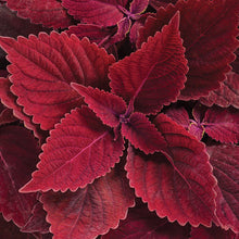 Load image into Gallery viewer, Coleus - Colorblaze Rediculous