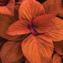 Load image into Gallery viewer, Coleus - Colorblaze Sedona Sunset