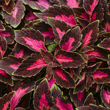 Load image into Gallery viewer, Coleus - Colorblaze Velveteen