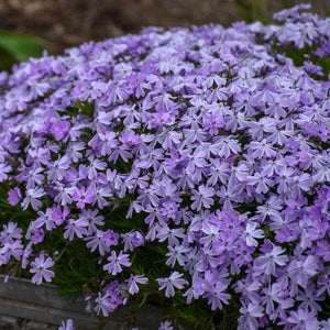 Creeping Phlox - Emeralds Cushion
