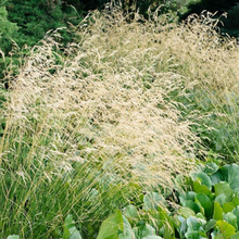 Load image into Gallery viewer, Deschampsia Cespitosa - Tufted Hair grass